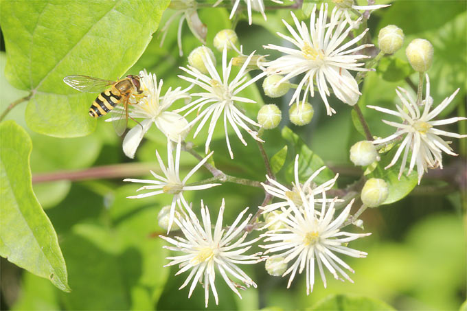 Clematis with hoverfly - Photo: Helge May