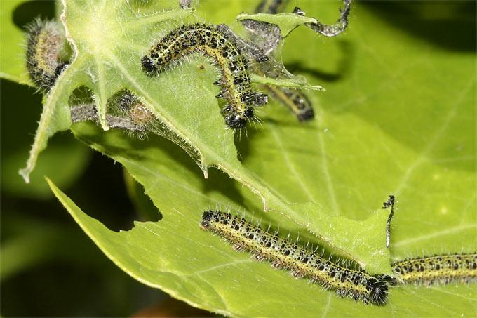 Large cabbage white caterpillars - Photo: Helge May