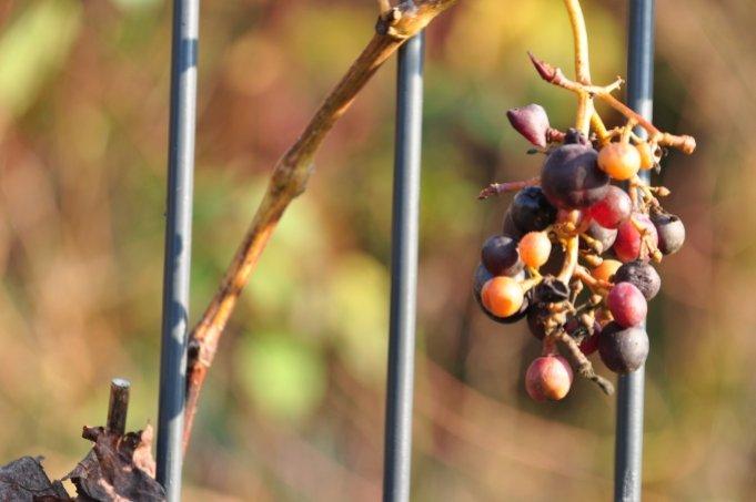 Grapevine - delicious, but also exotic - Image: NABU Bremen